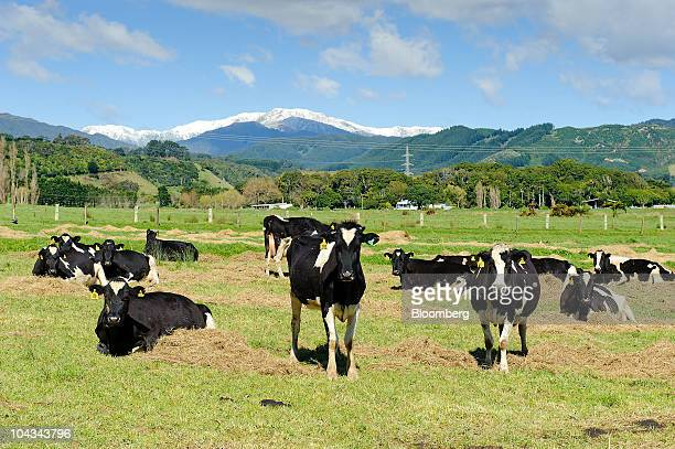 Dairy cows rest in the sun at Lutz Farm which supplies milk to Fonterra Cooperative Group Ltd in Otaki New Zealand on Wednesday Sept 22 2010 New...