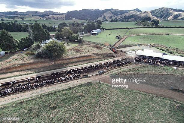 Dairy cows stand at a milking shed right as others feed at a farm that supplies to Fonterra Cooperative Group Ltd in this aerial photograph taken in...