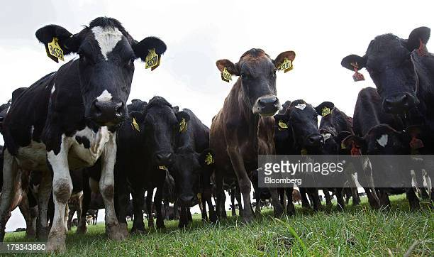Dairy cows stand in a farm operated by Synlait Milk Ltd in the town of Rakaia 60km from Christchurch New Zealand on Friday Aug 30 2013 Synlait a unit...