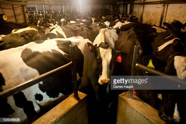 Dairy cows wait to be milked at the RobNCin farm led by father Robert Roden wife Cindy and son Rick as they tend to the roughly 400 head of cattle on...