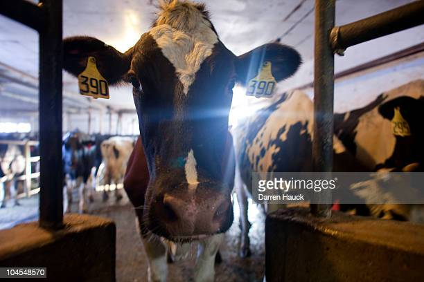Dairy cows wait to be milked at the RobNCin farm on September 29 2010 in West Bend Wisconsin The farm has roughly 400 head of cattle and about 1800...