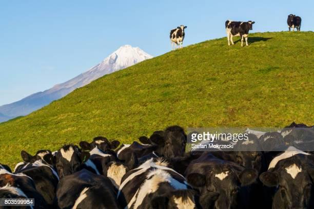 Dairy cows with Mount Taranaki (Mt Egmont), New Zealand