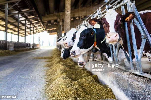 dairy farm cows indoor in the shed - livestock stock pictures, royalty-free photos & images
