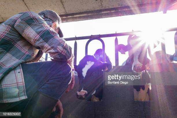 dairy farm worker checking wellbeing of his cows - dairy cattle stock pictures, royalty-free photos & images