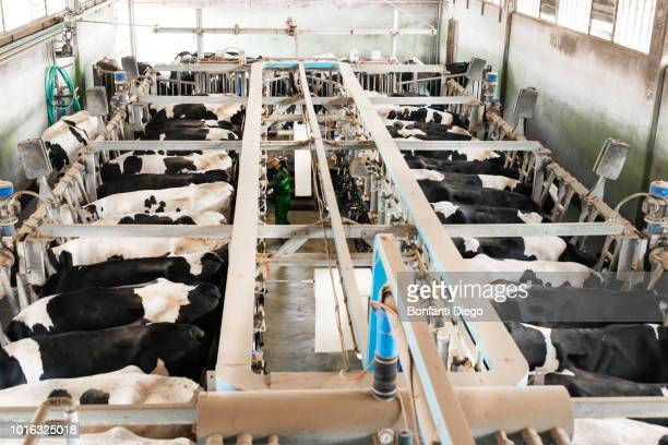 dairy farm worker working in milking parlour - milking stock pictures, royalty-free photos & images