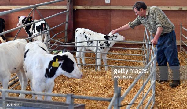 Dairy farmer David Witter checks on his herd of 370 Friesian Holstein cows before preparing them for milking at Carters Green Farm in Weston, near...