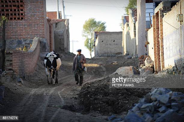 A dairy farmer leads his cow to a milking station in Shelawusu village 60km south of Hohhot the capital of the nothern Inner Mongolia region of China...