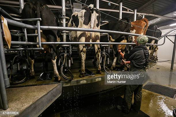 Dairy farmer Leon Doherty milks cows at night at Synlait dairy farm on May 25 2015 in Christchurch New Zealand New Zealandbased dairy producer...