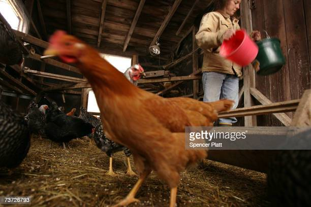 Dairy farmer Lisa Kaiman feeds chickens on her 33 acre farm March 27 2007 in Chester Vermont Kaiman recently started raising chickens and pigs to...