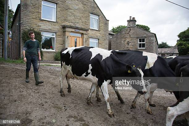 Dairy farmer moving his cows into a nearby field Hardraw Yorkshire England UK
