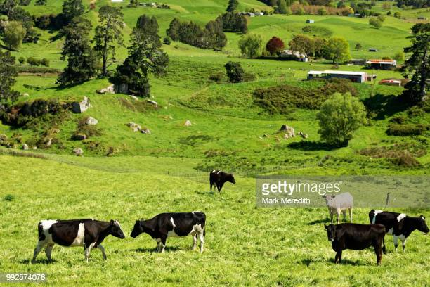 dairy farming in the waikato - grazing stock pictures, royalty-free photos & images