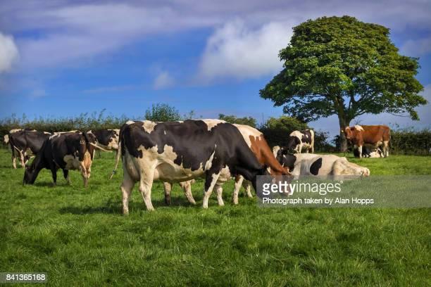 Dairy herd grazing under a tree
