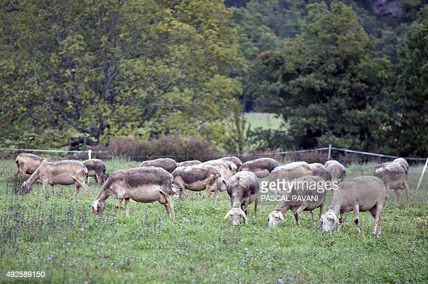 Dairy sheep belonging to French farmer Laurent Reversat graze on a meadow on October 12 in Eygalieres on the plateau du Larzac Aveyron southwestern...
