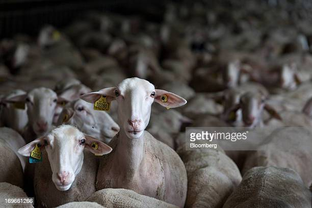Dairy sheep stand in a pen in Millau France on Wednesday May 29 2013 Roquefort cheese makers export about 420 tons a year or 25 percent of their...
