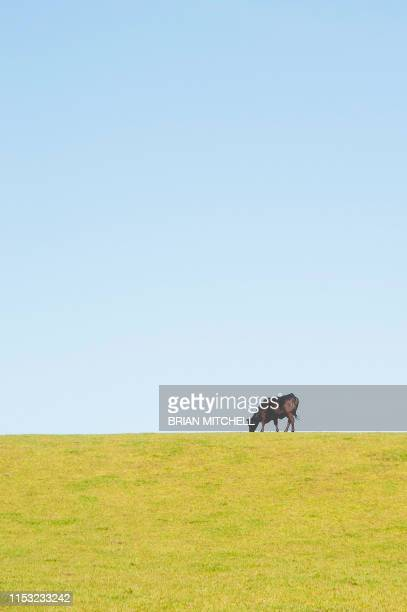 dairycow standing alone in a meadow, silhouetted agint the sky-line - image stock pictures, royalty-free photos & images