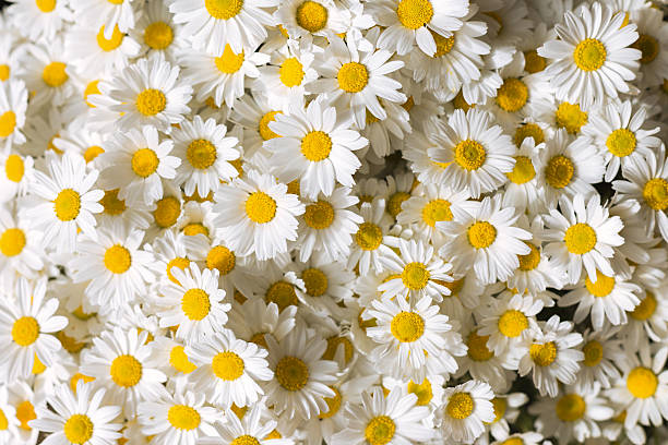 Free yellow flower white background images pictures and royalty yellow flowers on wooden white background daises flowers mightylinksfo