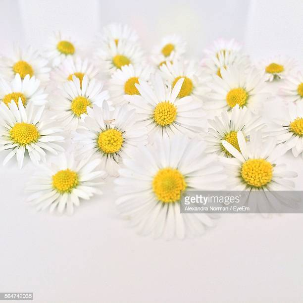 Daisies Against White Background
