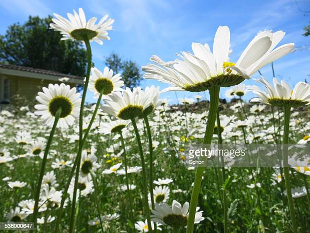 daisies and blue sky - maypole stock pictures, royalty-free photos & images