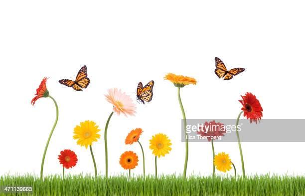 daisies y mariposas en el césped - primavera estación fotografías e imágenes de stock