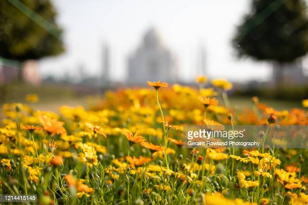 daisies and the taj mahal - celebrity death stock pictures, royalty-free photos & images