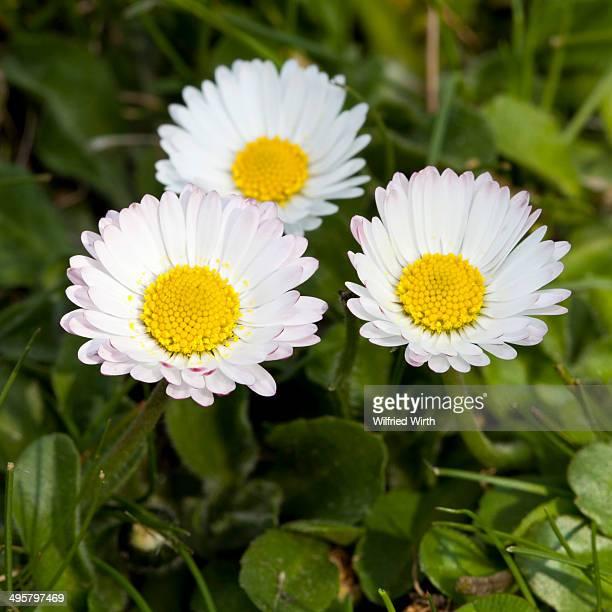 Daisies -Bellis perennis-