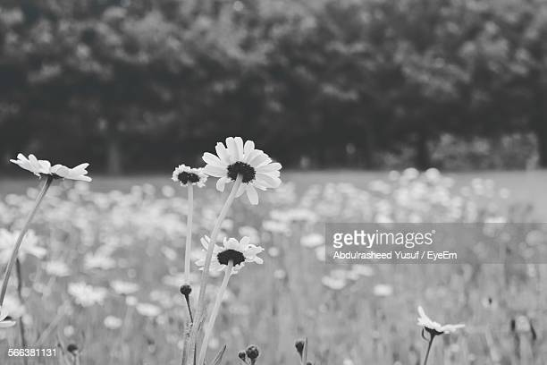 daisies blooming at everton park - liverpool everton stock pictures, royalty-free photos & images