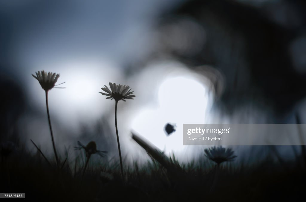 Daisies Blooming On Field At Night : Stock Photo