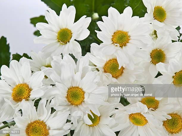 Daisies, bouquet of Flowers