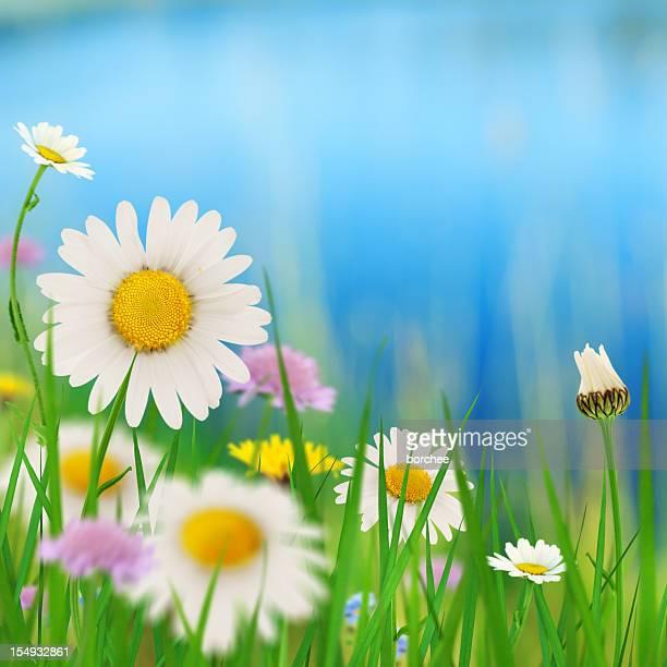 Daisies bord du lac