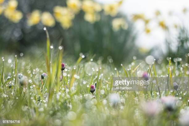 Daisies, daffodils and dew