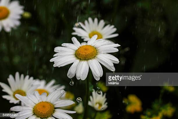 Daisies, Drops and Reflections
