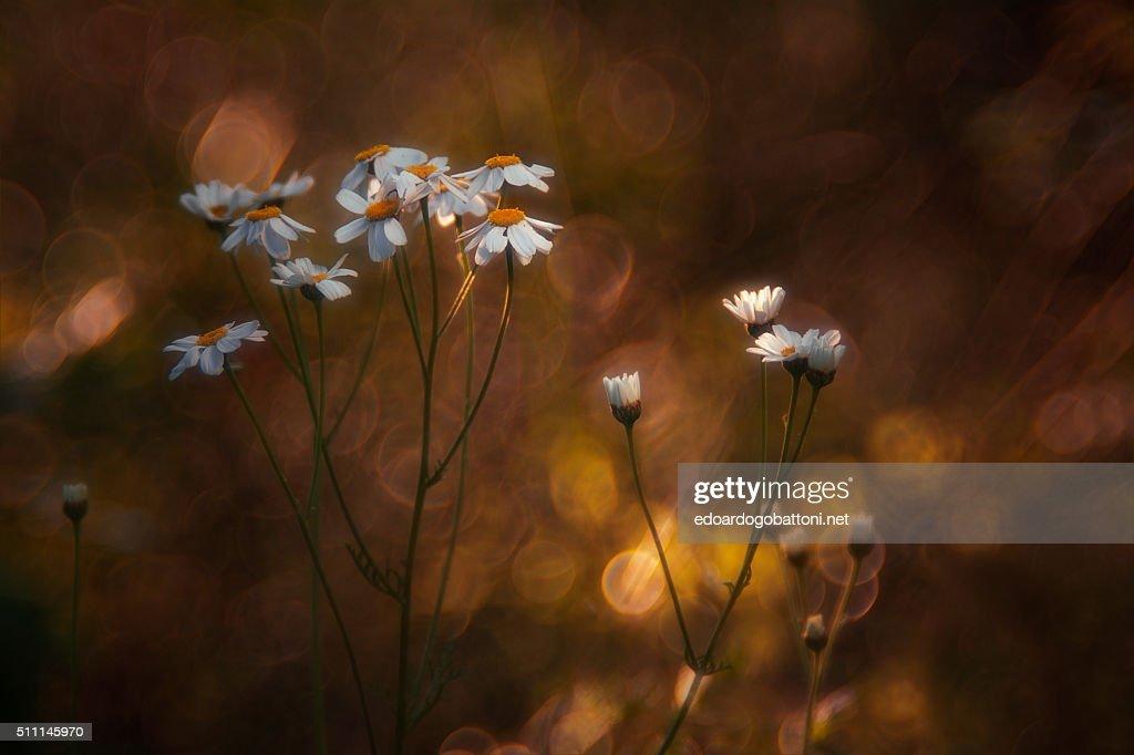 daisies & flares : Foto stock