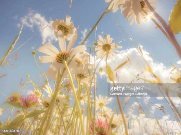 Daisies (Leucanthemum vulgare), flower meadow, blue summer sky, from below, worm's eye view, soft look effect
