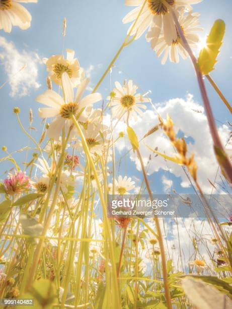 daisies (leucanthemum vulgare), flower meadow, blue summer sky, from below, worm's eye view, soft look effect - low angle view photos et images de collection