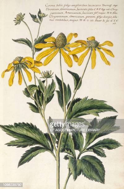 Daisies illustration from Hortulus botanicus pictus sive collectio plantarum by Giovanni Battista Morandi 1748