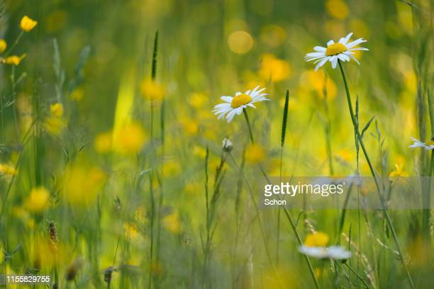 daisies in a meadow in evening sun - june stock pictures, royalty-free photos & images