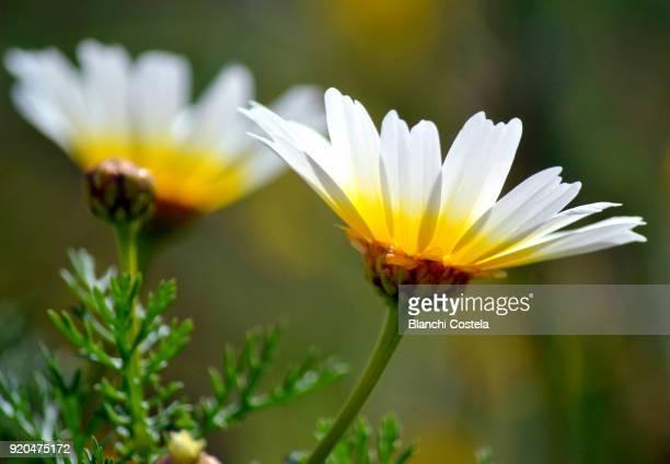 Daisies in bloom in spring