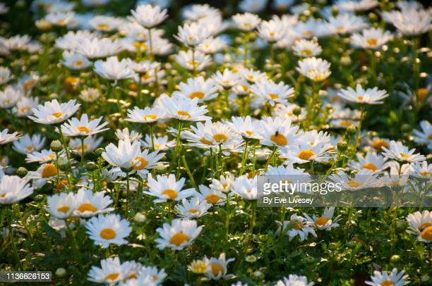 daisies in evening light - daisy stock pictures, royalty-free photos & images