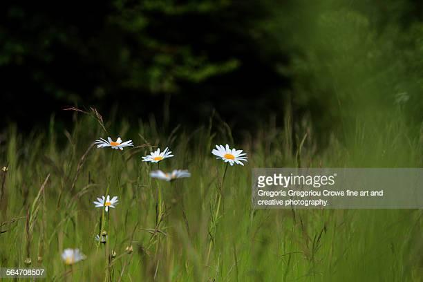 daisies in meadow - gregoria gregoriou crowe fine art and creative photography stockfoto's en -beelden