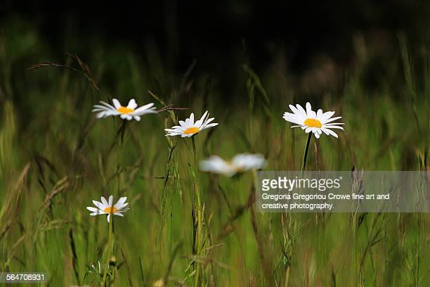 daisies in medow - gregoria gregoriou crowe fine art and creative photography stockfoto's en -beelden