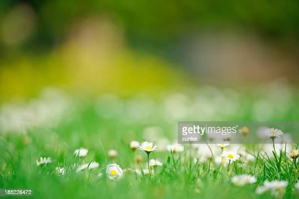 daisies in primavera - prato foto e immagini stock
