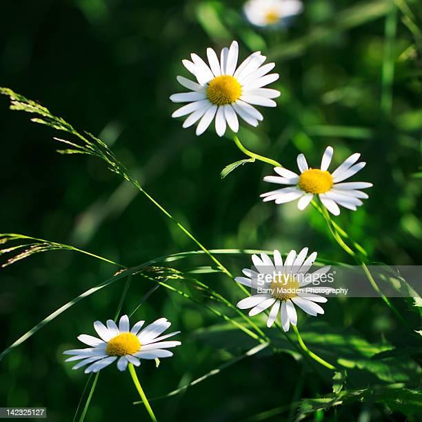 daisies in sunlight at park - ラッペーンランタ ストックフォトと画像