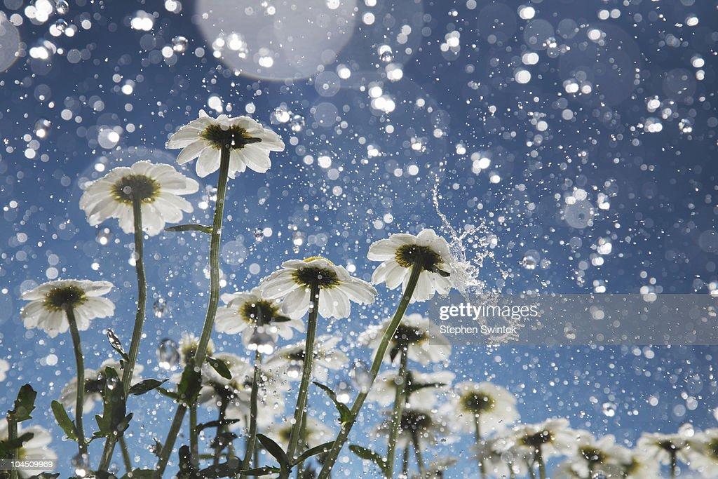 Daisies in a heavy rain.