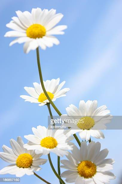 Daisies on a Blue Sky