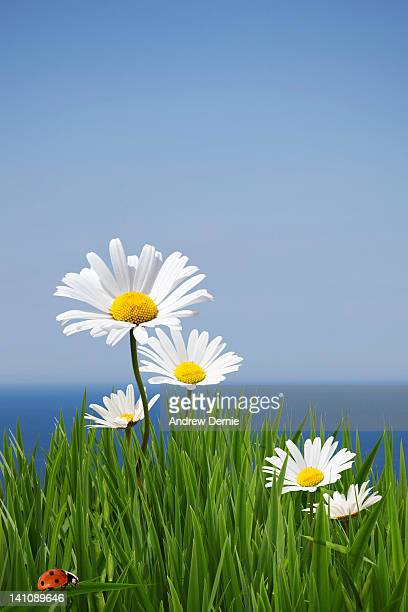Daisies on a cliff edge