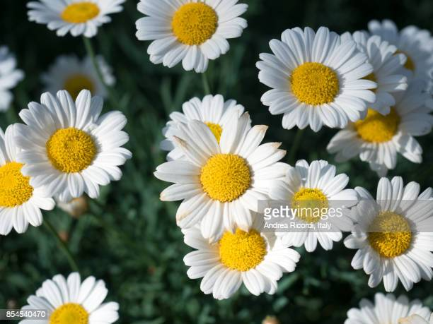 Daisies on a green grass