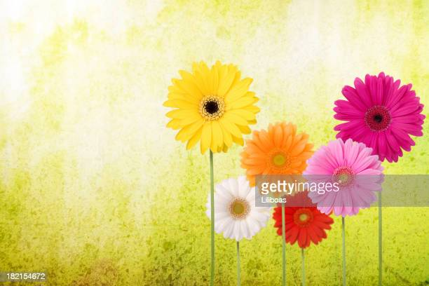 Daisies on a Spring Green Background