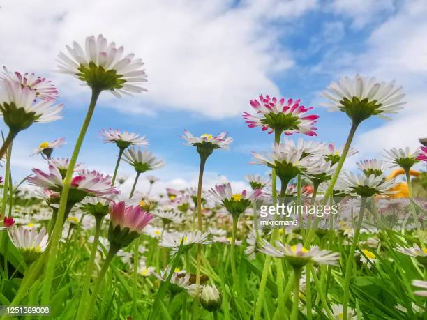 daisies on blue sky background - multi coloured stock pictures, royalty-free photos & images
