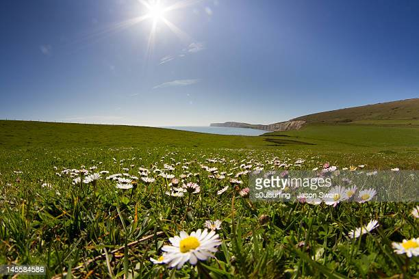 daisies on isle of wight - s0ulsurfing stock pictures, royalty-free photos & images