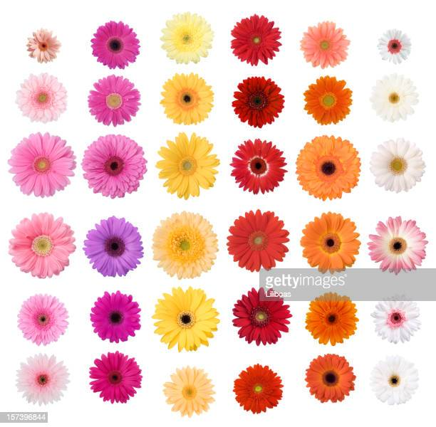 daisies - gerbera daisy stock pictures, royalty-free photos & images